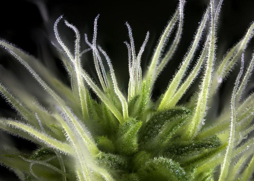 Terpenes of Cannabis