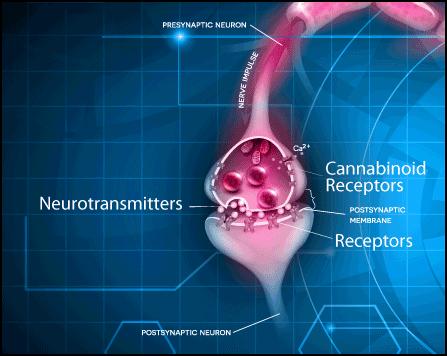 Endocannabinoid System, Receptor, CBD, CBN, Compare CBD, Buy CBD